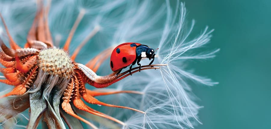 A lady bug on top of a flower