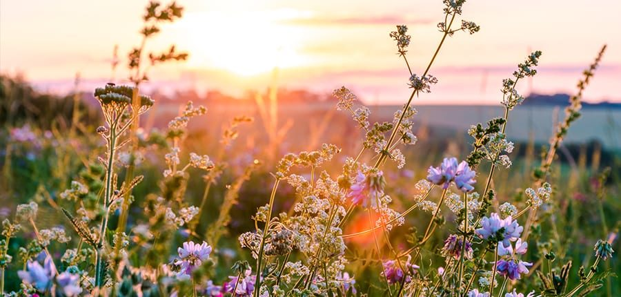 Lavender flowers during sunset